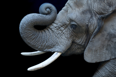The African Elephant  is one of the species documented in Joel Sartore's Photo Ark that is on display in one of NKU's FotoFocus galleries.