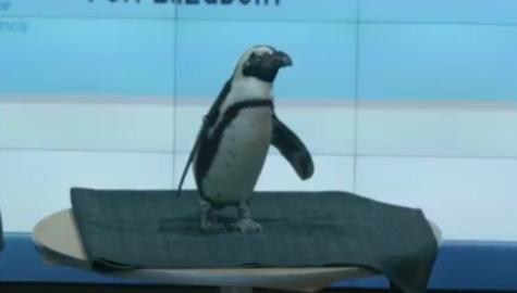 VIDEO: Penguins promote conservation efforts