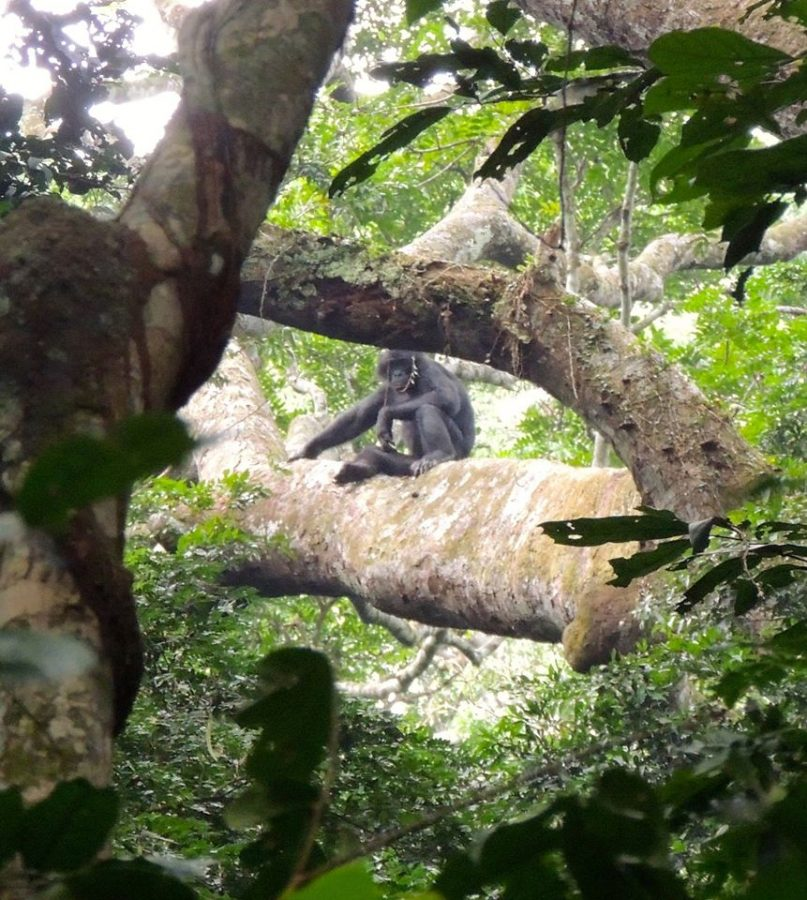 A male bonobo hangs out in the trees. Taken during the 2014 trip, this summer the team will work on habituating the population.
