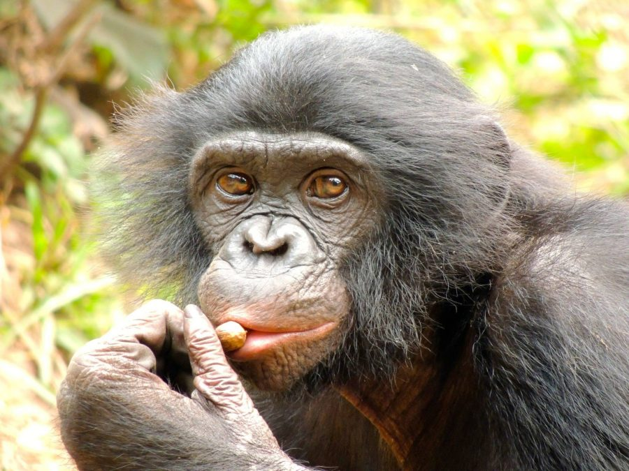 In the Congo, a reflection of ourselves: NKU Professor to research Bonobos in May